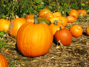 Pumpkin patch | Pine Tree Apple Orchard